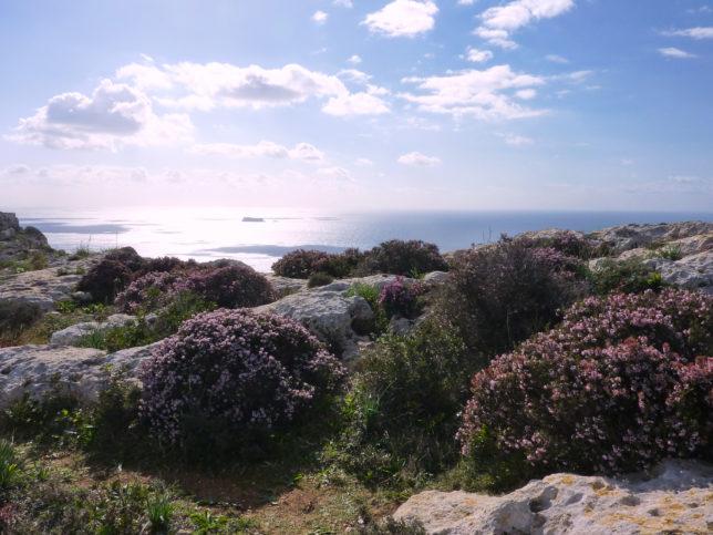 rozkvetlé útesy na Maltě Dingli Cliffs